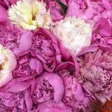 weiße und rosa Blumenpfingstrosen Stockfoto
