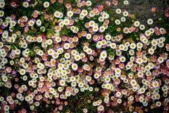Weiße und rosa Gänseblümchen, die wild wachsen Lizenzfreies Stockbild