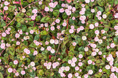 Weiße und rosa Gänseblümchen gesehen in Rye, Kent, Großbritannien Stockbild
