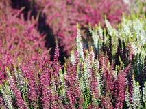 Weiße und rosa Heidekräuter des Blumenhintergrundes - in voller Blüte Stockfotos