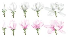 Weiße und rosa Magnolie vektor abbildung