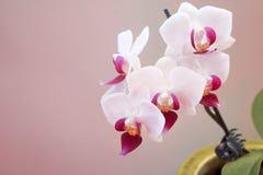 Weiße und rosa Miniaturorchidee im Topf stockfotos