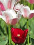 Weiße und rosa Tulpen mit roter Tulpe stockfotografie