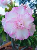 Weiße und rosafarbene Blume Stockbilder