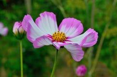 Weiße und rosafarbene Blume Lizenzfreie Stockbilder