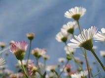 Weiße und rosafarbene Gänseblümchenblumen Lizenzfreie Stockfotos