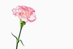 Weiße und rosafarbene Gartennelke stockfotografie