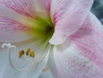 Weiße und rosafarbene Orchidee Stockfotografie
