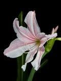 Weiße und rosafarbene Sternlilie Stockbild