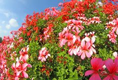 Weiße und rote Pelargonien in voller Blüte Stockbild