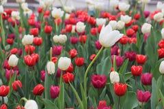 Weiße und rote Tulpe mit grünen Blättern stockbilder
