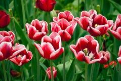 Weiße und rote Tulpen Lizenzfreies Stockfoto