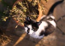 Weiße und schwarze Cat With Plant Pot Lizenzfreie Stockfotos