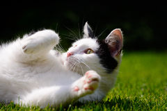 Weiße und schwarze Cat Playing On Lawn Lizenzfreies Stockfoto