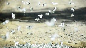 Weiße und schwarze gestreifte Schmetterlinge huschen und fliegen stock video footage