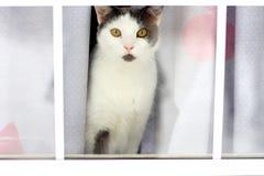 Weiße und schwarze Katze, die durch Fenster schaut Lizenzfreie Stockfotografie