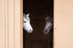 Weiße und schwarze Pferde Stockbilder