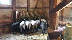 Weiße und schwarze Schafe, die zusammen das Gras nah essen stock video footage