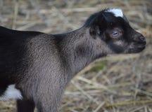 Weiße und schwarze Ziege des Schätzchens Stockbilder