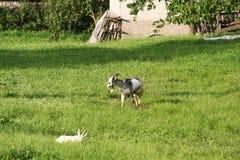Weiße und schwarze Ziege des Schätzchens Stockfotografie