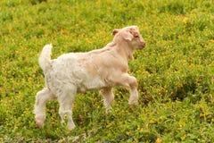 Weiße und schwarze Ziege des Schätzchens Stockfoto
