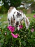 Weiße und schwarze Ziege des Schätzchens Stockfotos
