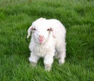 Weiße und schwarze Ziege des Schätzchens Lizenzfreies Stockfoto