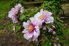 weiße und violette Blume im Garten stockfotos
