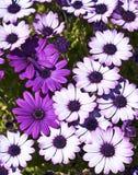 Weiße und violette Blumen Stockfoto