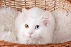 Weiße ungerad-gemusterte Katze Stockfotografie