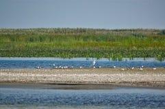Weiße Vögel auf einem wilden Sand setzen im Donau-Delta auf den Strand Stockbilder