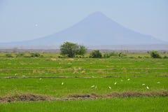 Weiße Vögel auf grünem Reisfeld Stockfoto