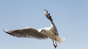 Weiße Vogelseemöwe Stockbild