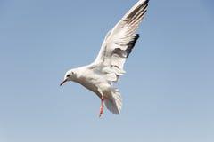 Weiße Vogelseemöwe Lizenzfreie Stockfotografie