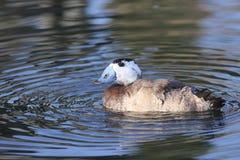 Weiße vorangegangene Ente, Oxyura Leucocephalia Stockfotos