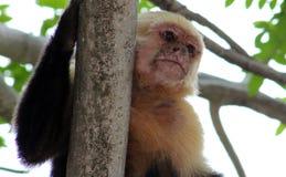 Weiße vorangegangene Klammeraffe des Capuchin einer Handin Costa Rica Lizenzfreie Stockfotografie
