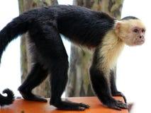 Weiße vorangegangene Klammeraffe des Capuchin einer Handin Costa Rica Lizenzfreie Stockfotos