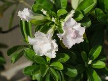 Weiße Wüstenrose oder Adenium obesum Stockfoto