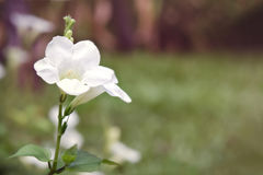 Weiße Wüstenroseblume u. x28; Andere Namen sind Wüstenrose, Schein-Azal Lizenzfreies Stockfoto