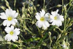 Weiße Waldblühende pflanzen in der Wiese naß mit Tau morgens lizenzfreies stockbild