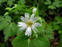 Weiße Waldblume Lizenzfreies Stockfoto