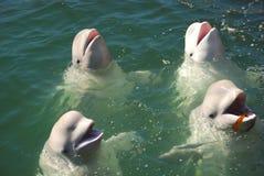 Weiße Wale Stockbilder