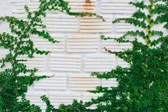 Weiße Wandgrün-Efeuanlage lizenzfreie stockfotografie