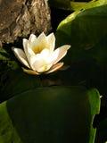 Weiße Wasser-Lilie Lizenzfreie Stockfotos
