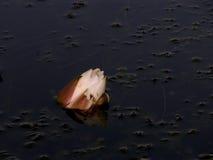 Weiße Wasser-Lilie Stockfotos