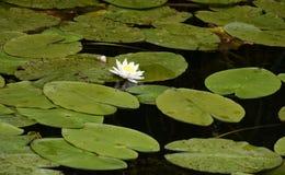 Weiße Wasserlilie Stockfotografie