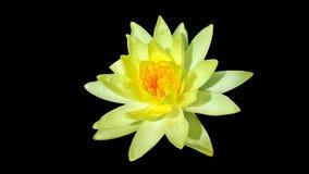 Weiße Wasserlilie Lizenzfreie Stockfotos