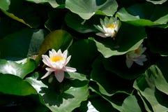 Weiße waterlilies in den grünen Blättern Stockfotos