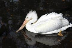 Weiße Watvögel im Winter stockbild
