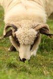 Weiße weiden lassende Schafe Stockbild